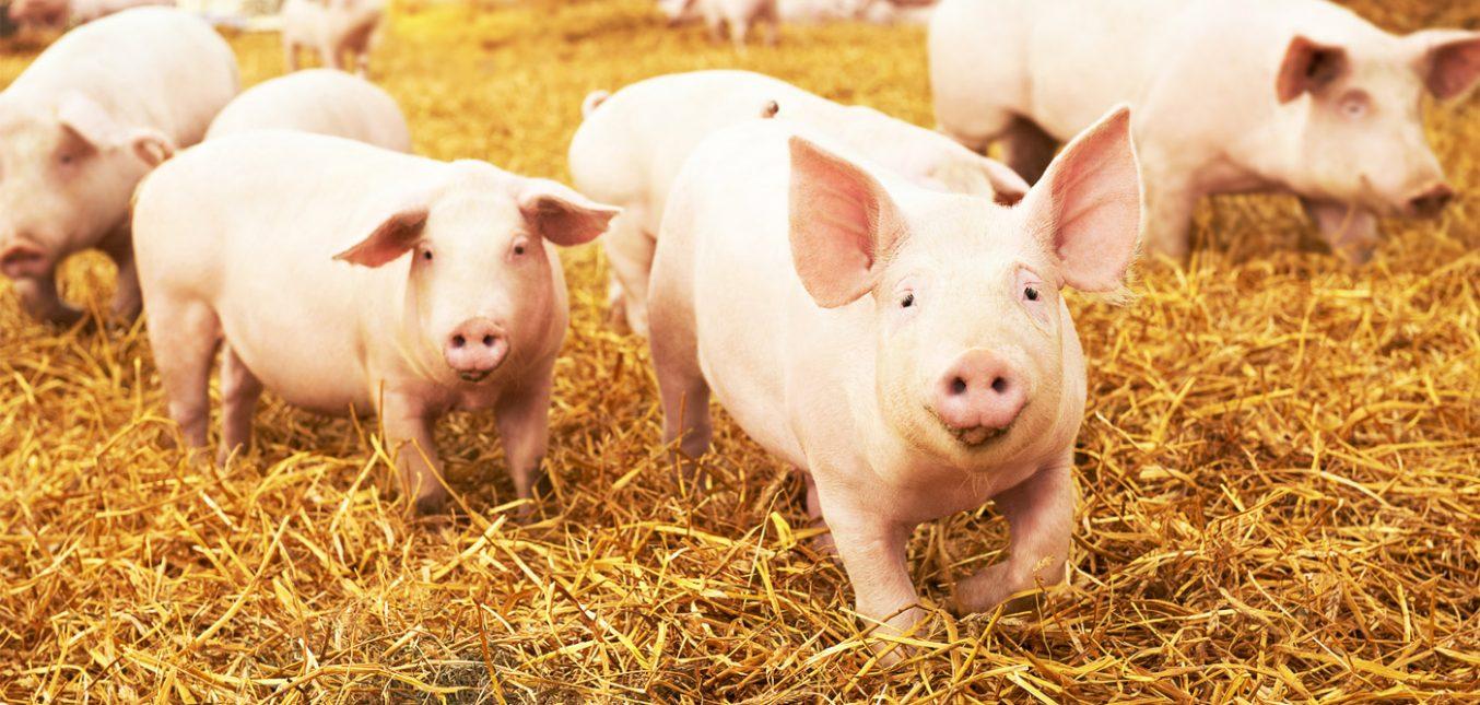 Gutes Klima im Schweinestall – Gasdruckregler für präzise Wärmeregelung