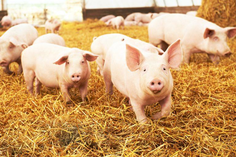 I regolatori Maxitrol utilizzati nei radiatori di calore dei porcili